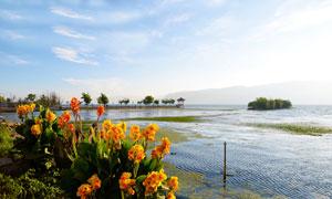 洱海边盛开的花朵摄影图片