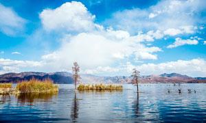 洱海中的木桩和树木摄影图片