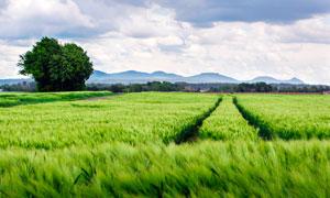 田野中的麦田景观摄影图片