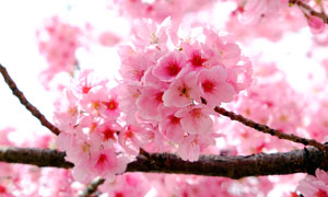 枝头上盛开的粉色樱花摄影图片
