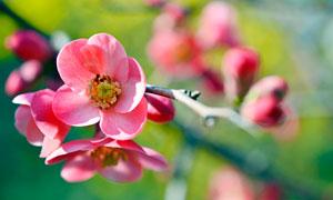 花枝上盛开的樱花特写摄影图片