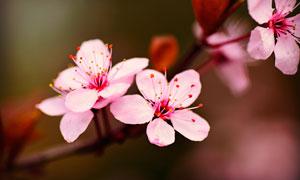 花枝上盛开的粉色樱花和花蕊摄影图片