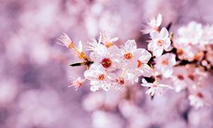 枝头上樱花盛开特写摄影图片