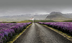 薰衣草庄园中的公路景观摄影图片