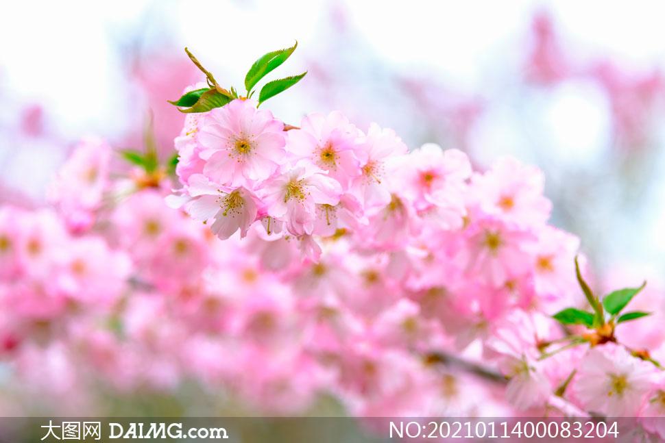 枝头盛开的粉色樱花和花枝摄影图片