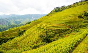 山坡上的水稻梯田摄影图片