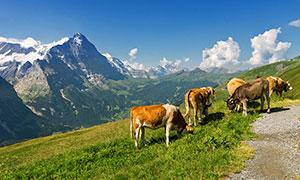 山坡上正在吃草的牛群摄影图片