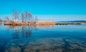 湖泊中的树木和芦苇丛摄影图片