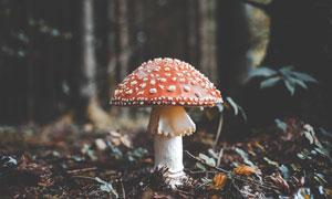 树林中的红色蘑菇特写摄影图片