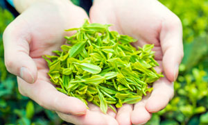 手捧着刚刚采摘的绿茶摄影图片