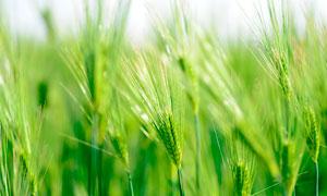 绿油油的大麦麦穗特写摄影图片