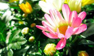 盛开的粉色菊花和花苞摄影图片