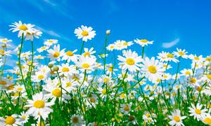 藍天下的盛開的菊花攝影圖片