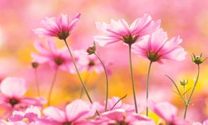 盛開的粉色花朵攝影圖片