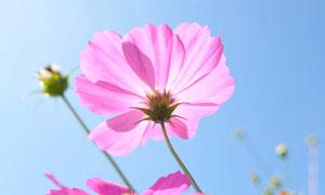 藍天下的粉色花朵和花苞攝影圖片