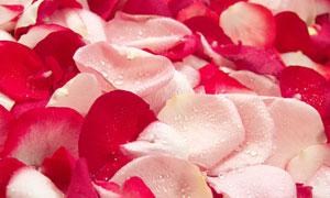 平铺的玫瑰花瓣背景摄影图片
