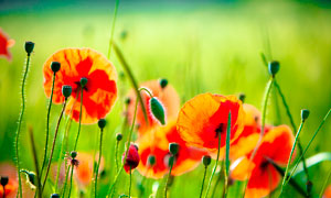 盛開的紅色罌粟花攝影圖片