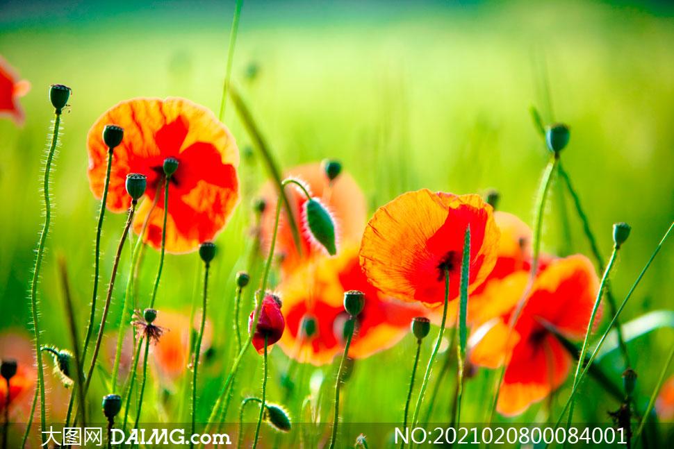 盛开的红色罂粟花摄影图片