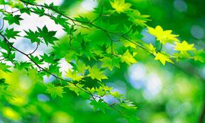 枝頭上的綠色楓葉攝影圖片