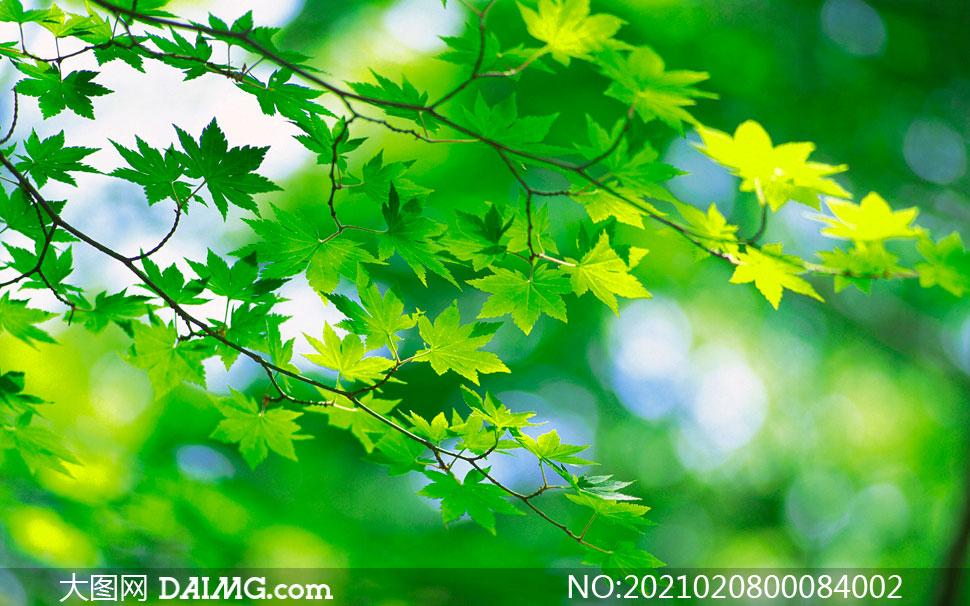 枝头上的绿色枫叶摄影图片