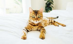 睡在床上的可爱小猫咪摄影图片