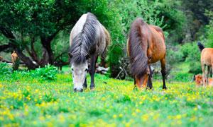 树林中正在吃草的骏马摄影图片