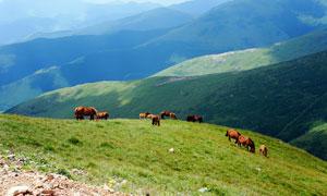 山坡上吃草的马群摄影图片