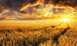 夕陽下的金色麥田攝影圖片