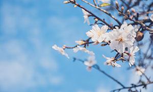 枝頭上盛開的白色桃花攝影圖片