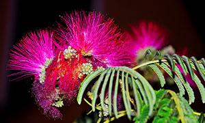 盛開的紅色含羞草花朵攝影圖片