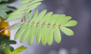 含羞草枝葉特寫攝影圖片