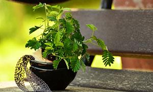 花壇中的含羞草特寫攝影圖片