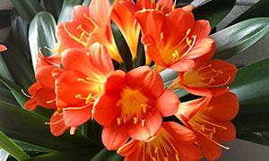花盤中的橙色君子蘭攝影圖片