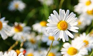 盛開的白色雛菊特寫攝影圖片