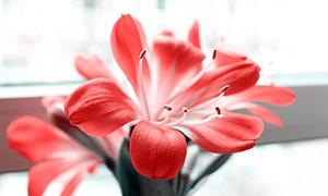 盛開的紅色君子蘭花朵攝影圖片