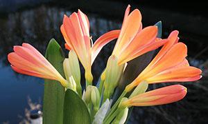 含苞待放的橙色君子蘭攝影圖片