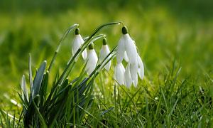 草丛中盛开的雪花莲摄影图片