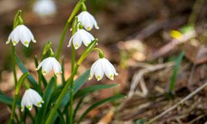 美丽洁白的雪花莲特写摄影图片