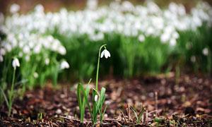 田野盛开的雪花莲摄影图片