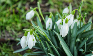 花丛中盛开的雪花莲摄影图片