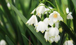 花丛中绽放的雪花莲摄影图片
