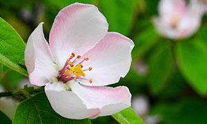 枝头盛开的桃花特写摄影图片
