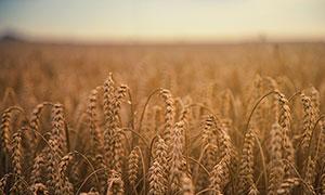 丰收季麦田中的麦穗特写摄影图片