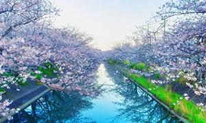 河道两边盛开的樱花摄影图片