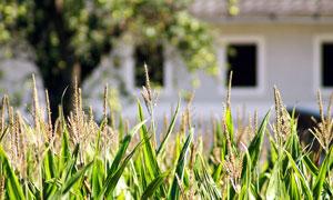 房屋前的玉米地特寫攝影圖片