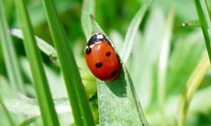 綠葉上的七星瓢蟲特寫攝影圖片