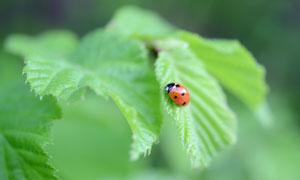 綠葉上趴著的七星瓢蟲攝影圖片