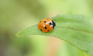 綠葉上棲息的七星瓢蟲攝影圖片