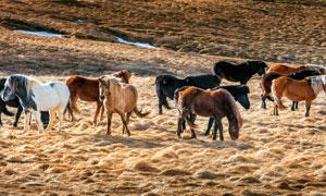 草地上的馬群攝影圖片
