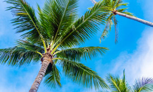 藍天下的椰樹仰視圖攝影圖片
